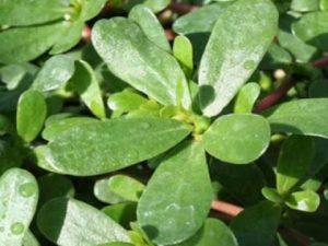 Сухие листья фиолетового